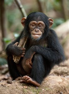 Chimpanzee Photo 25 - Large