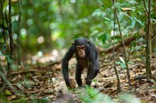 Chimpanzee photo 3 of 29