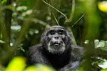 Chimpanzee Photo 9