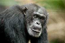 Chimpanzee Photo 15