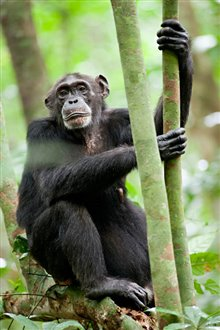 Chimpanzee photo 27 of 29