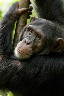 Chimpanzee photo 29 of 29
