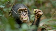 Chimpanzee Photo 21