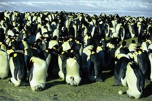 March of the Penguins Photo 6 - Large