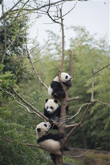 Pandas Photo 17