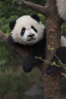 Pandas Photo 19