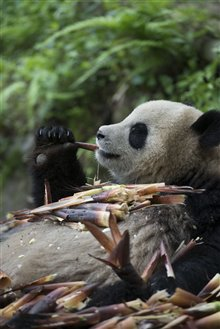 Pandas Photo 21