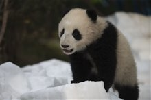 Pandas Photo 12