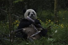 Pandas Photo 14