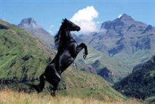 Young Black Stallion photo 2 of 4