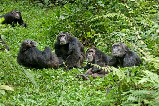 Chimpanzee Photo 11 - Large