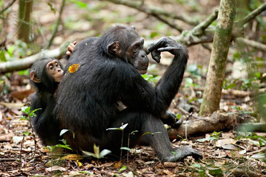 Chimpanzee Photo 17 - Large
