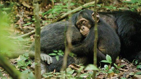 Chimpanzee Photo 19 - Large