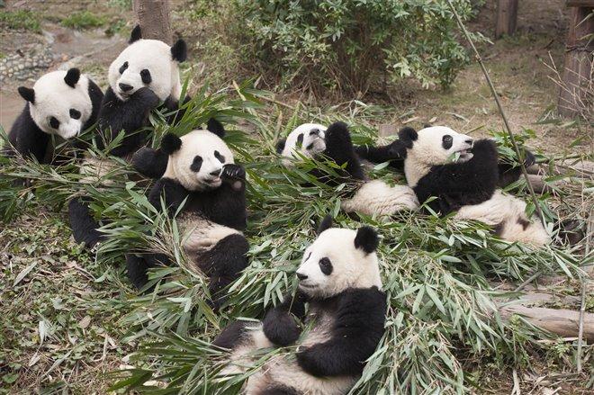 Pandas Photo 2 - Large