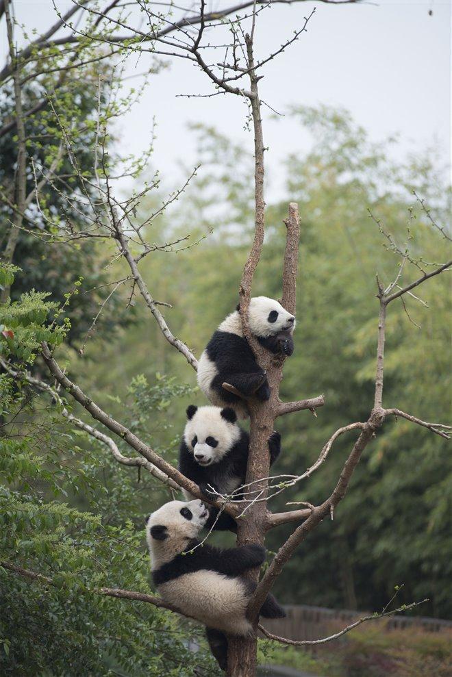 Pandas Photo 17 - Large