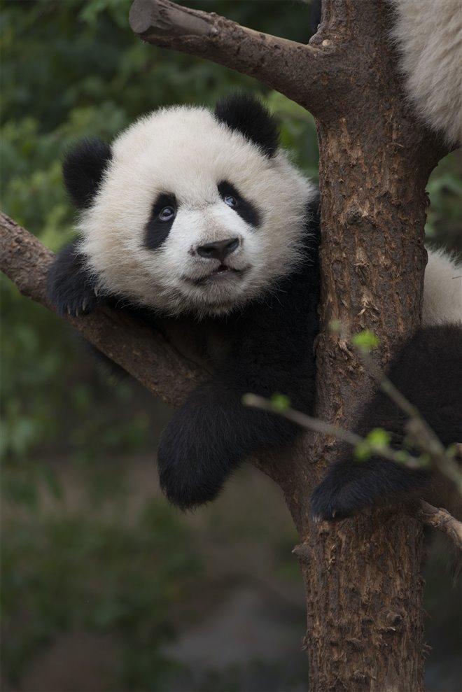 Pandas Photo 19 - Large