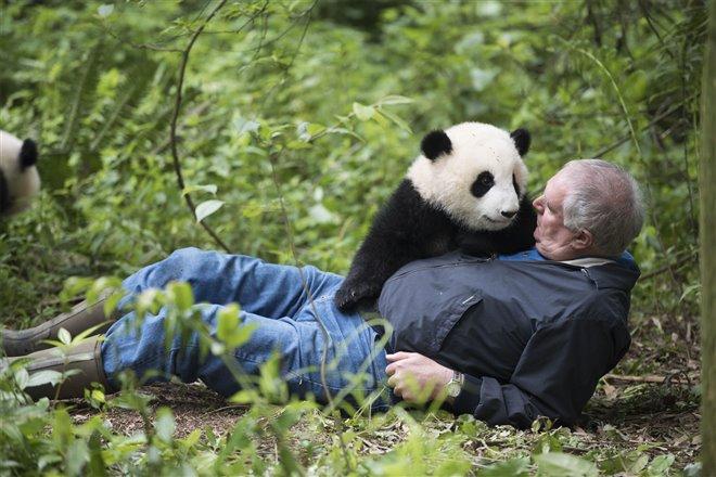 Pandas Photo 4 - Large
