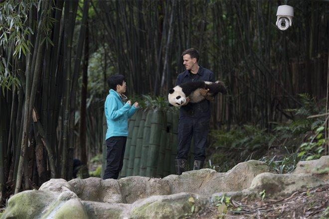 Pandas Photo 6 - Large