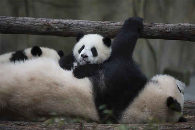 Pandas Photo 7 - Large