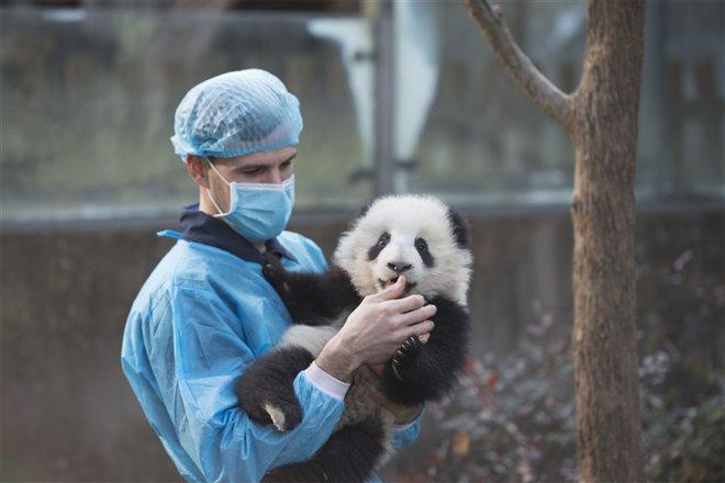 Pandas Photo 11 - Large