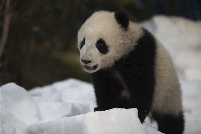 Pandas Photo 12 - Large