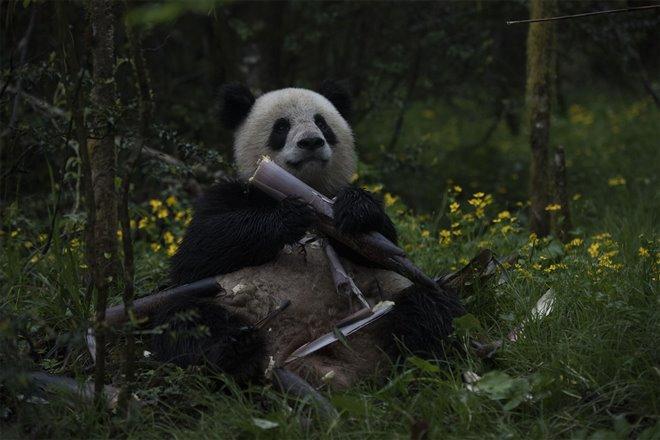 Pandas Photo 14 - Large