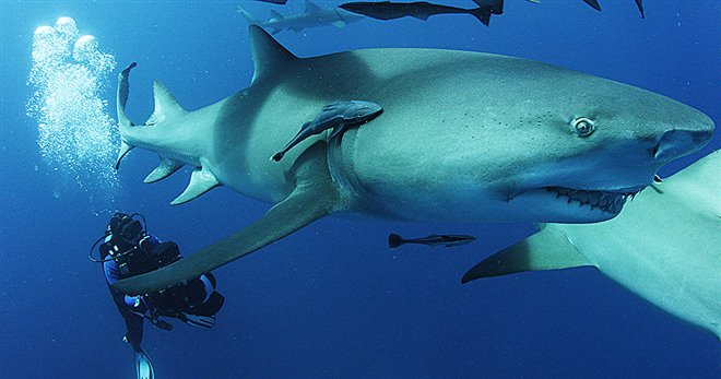 Sharkwater Extinction - Le film Photo 2 - Grande