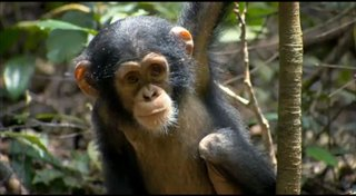 chimpanzee Video Thumbnail